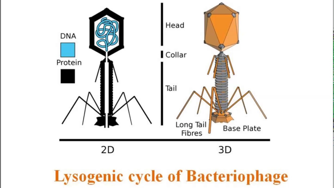 lysogenic cycle of bacteriophage in hindi youtube. Black Bedroom Furniture Sets. Home Design Ideas