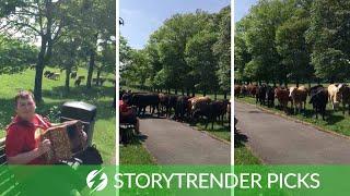 Man Serenades Herd Of Cows With Accordion
