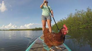 Зачем курица из Флориды плавает на паддлборде (новости)