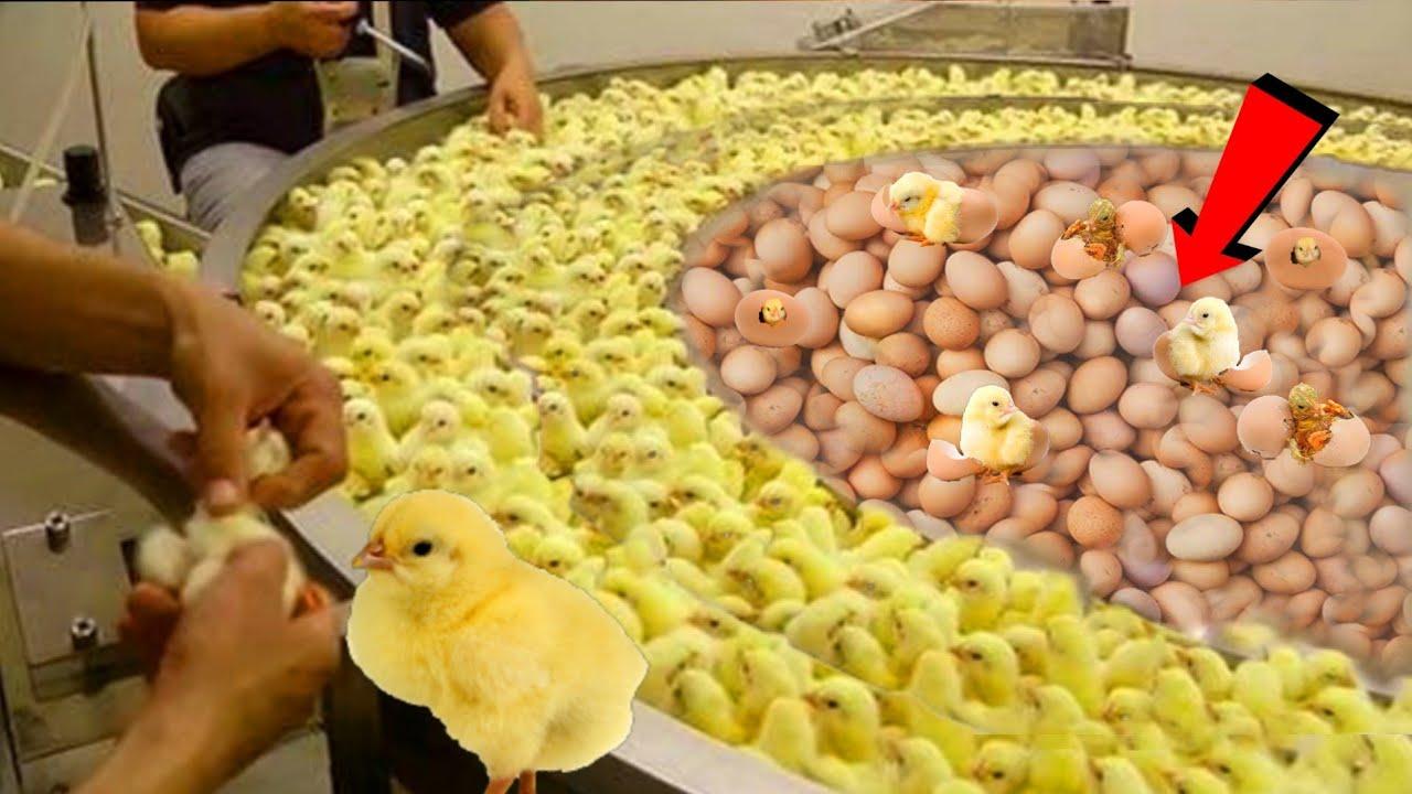 देखिए ये मशीन सेकंडों मे अंडे से मुर्गी के बच्चे कैसे निकालती है  |  Poultry farm technology machine