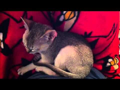 Lily Singapura Kitten 1.3 lbs - Kneading my pants 2.5 months (Smallest Cat Breed in the World)