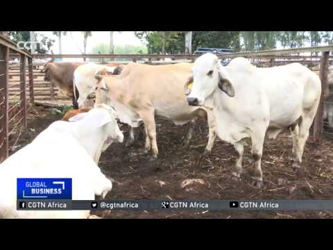 Cattle donated by President Mugabe to AU auctioned in Harare