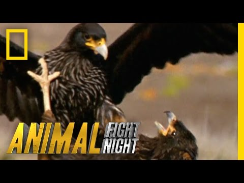 Thumbnail: Rooks and Rookies | Animal Fight Night