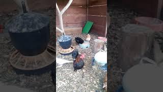 Kury i gołębie