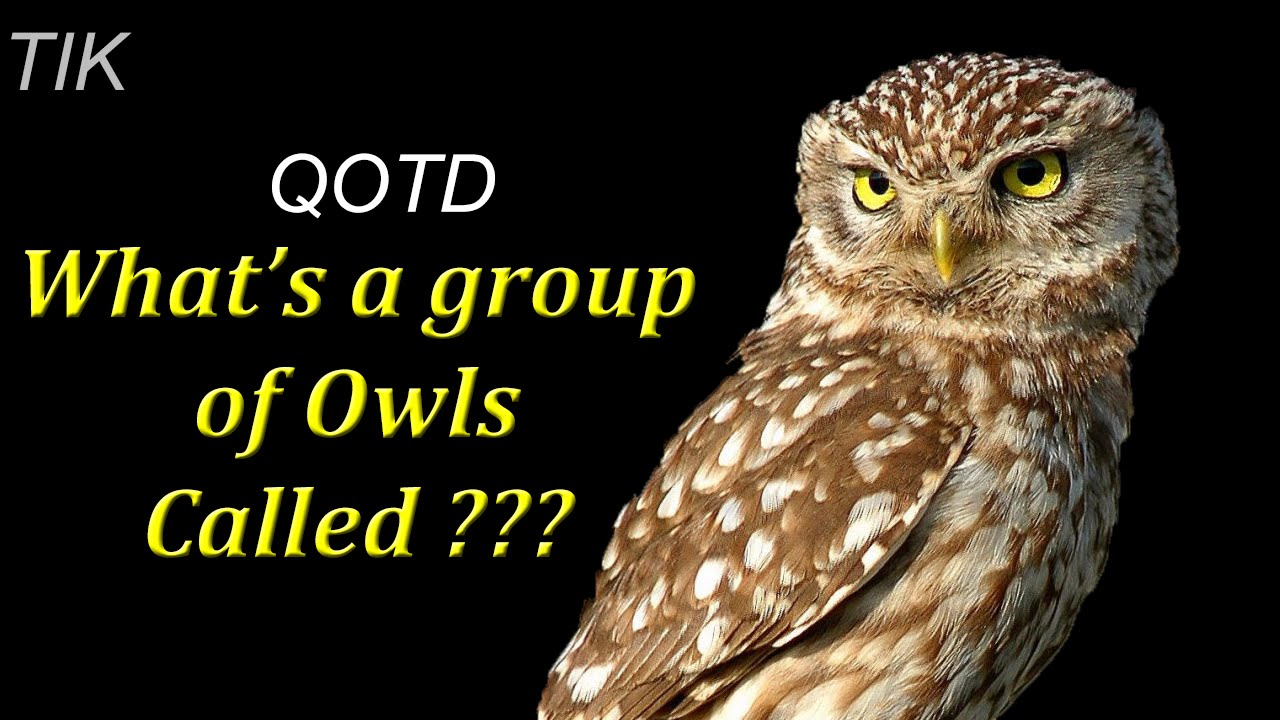 Group of owls is called