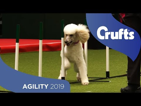 Fleet-Footed Poodle Takes On The Agility Run | Crufts 2019