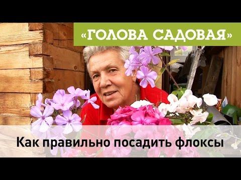 Голова садовая - Как правильно посадить Флоксы