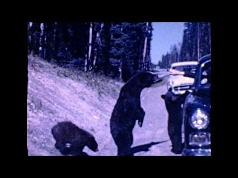 Found 8mm Film - Feeding Bears From The Car In Yellowstone, 1951
