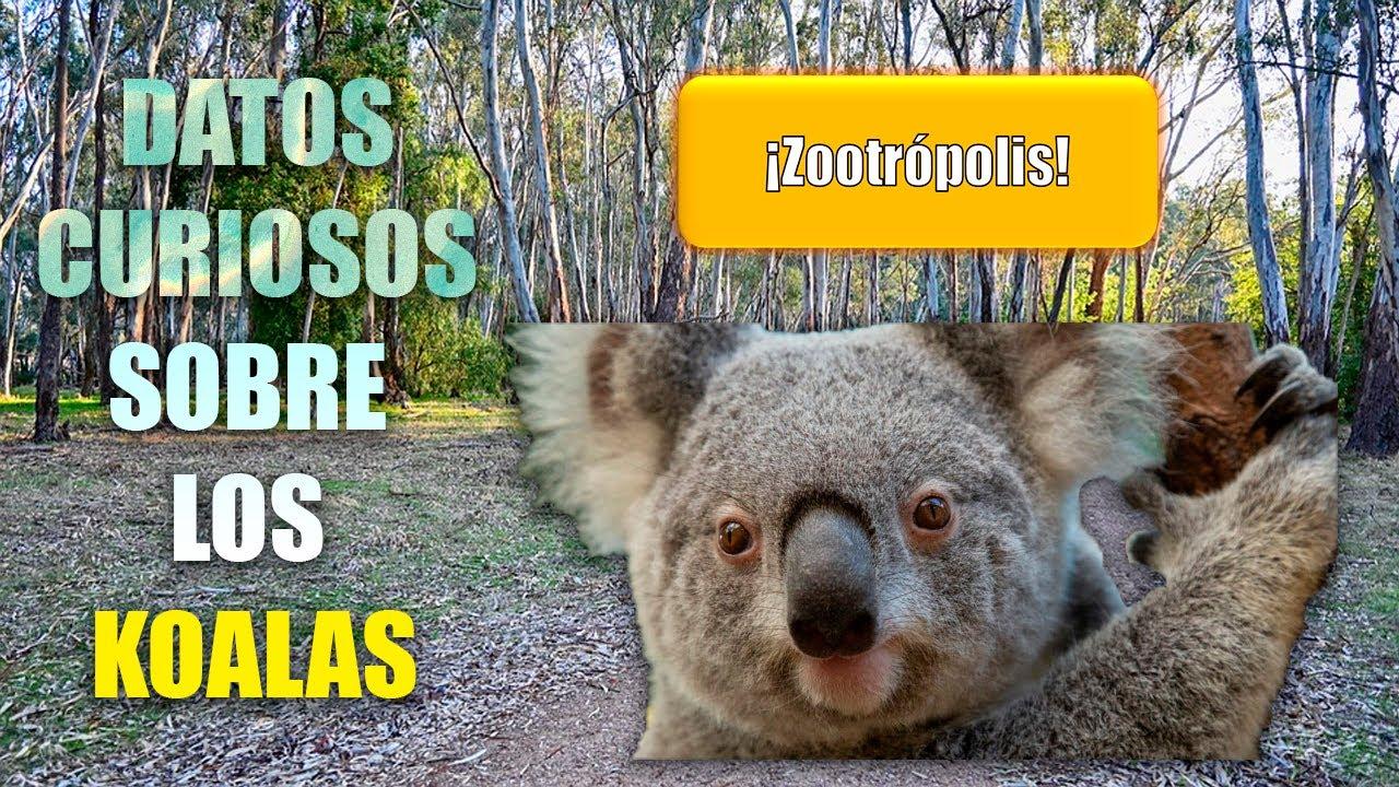 Download ¿DE VERDAD DUERMEN TANTO?   DATOS CURIOSOS sobre los KOALAS 🐨   Mini Documental