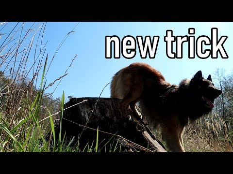 Learning a New Dog Trick - The Handstand