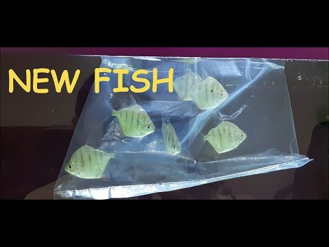 Beli Ikan Predator Baru!!! Tiger Hook Silver Dollar!