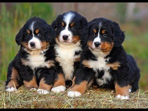 Всё о породе. Бернская горная пастушья собака. Бернский Зенненхунд.