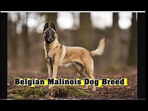 Belgian Malinois Dog Breed info |Teaser |