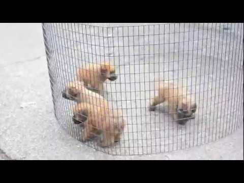Wheaten Terrier Puppies For Sale