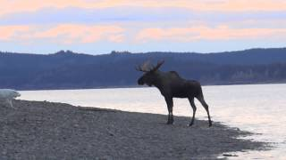 Great Pyrenees vs Bull Moose on the Yukon River (unedited)
