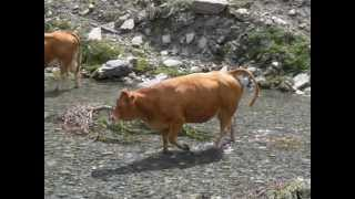 Vaches alpines