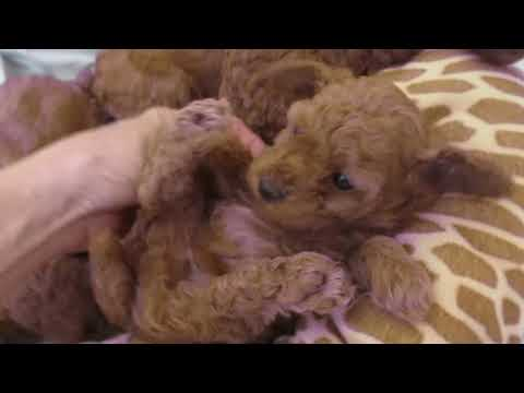 Miniature red poodle puppies
