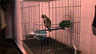 chardonneret gazret servati   EndlessVideo