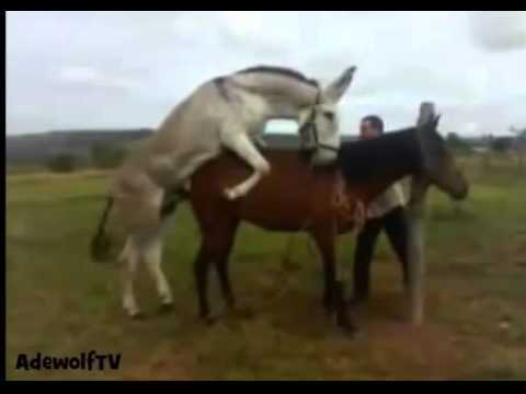 Animal reproduction How to Mate Donkey with Horse