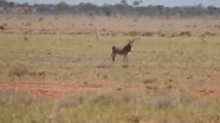Wild Donkey's In Outback Nsw