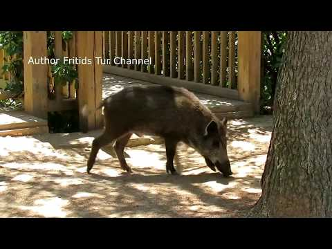 Wild pig at Tibidabo Barcelona