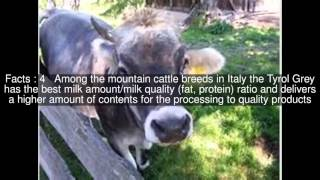 Tyrolese Grey cattle Top  #7 Facts