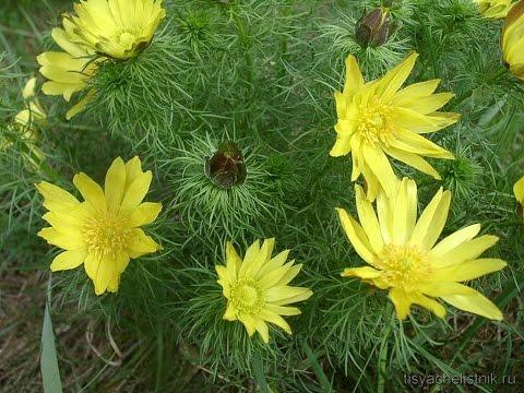 Адонис весенний (горицвет) - свойства, применение, рецепты