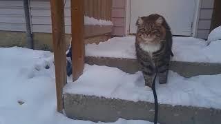 Сибирская кошка. Дома теплее) Funny cats