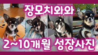 장모치와와 2~10개월 성장앨범,아기강아지 성장사진,새…