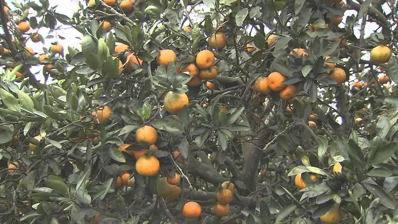 Orange Fruit Diseases Pictures