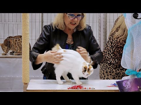 CFA International Show 2018 - Japanese Bobtail kitten class judging
