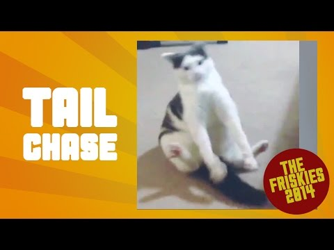 Funny Cat Chasing Tail – The Friskies Awards 2014