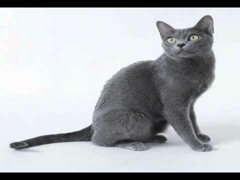 korat cats breeders