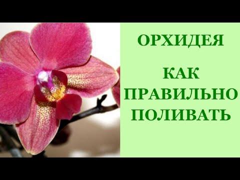 Орхидея Фаленопсис. Полив орхидей. Как часто поливать орхидеи