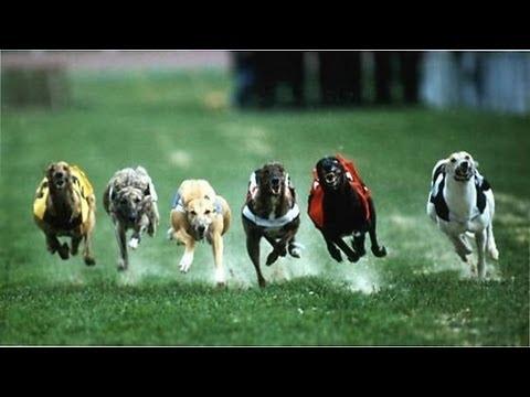ставки анализатор бега собачьи