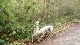Weimaraners Bailey & Louis -  Jump Around