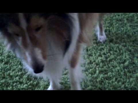 Sheltie Elvis :psie sztuczki -dog tricks 3