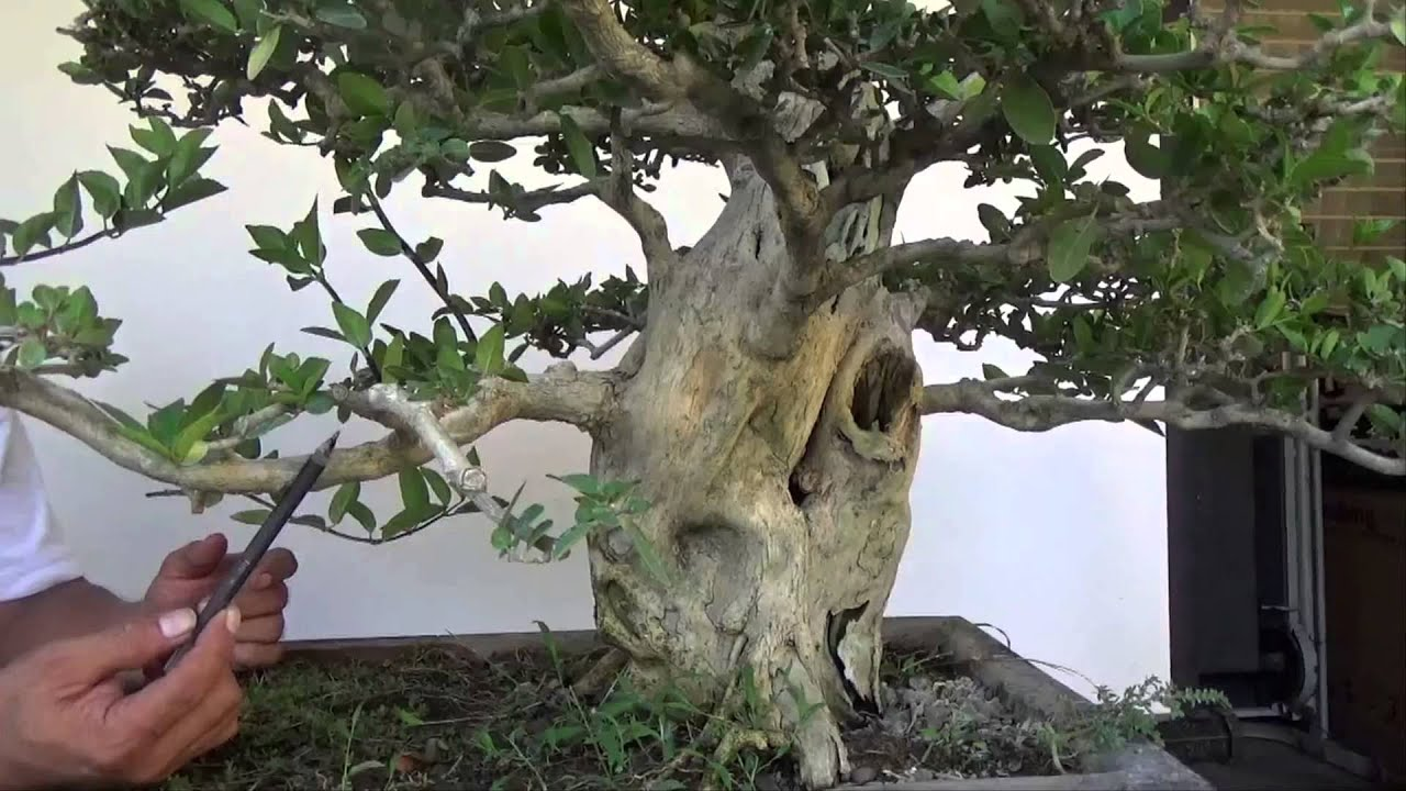 bonsai tutorials for beginners how to improve branch taper without rh youtube com Bonsai Shapes Bonsai Cutting Techniques