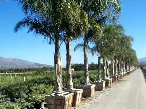Queen Palm Cocos Plumosa 36box Single Mov Youtube