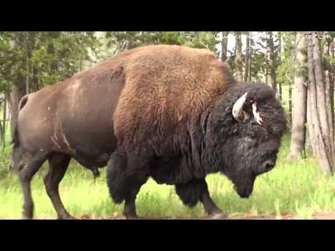 A Bison in Yellowstone National Park (1080p)