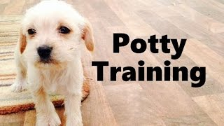 How To Potty Train A Schnocker Puppy - Schnocker House Training - Housebreaking Schnocker Puppies
