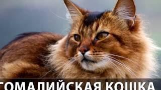 Порода кошек. Сомали(Сомалийская кошка).Красивая кошка с пышной шерстью