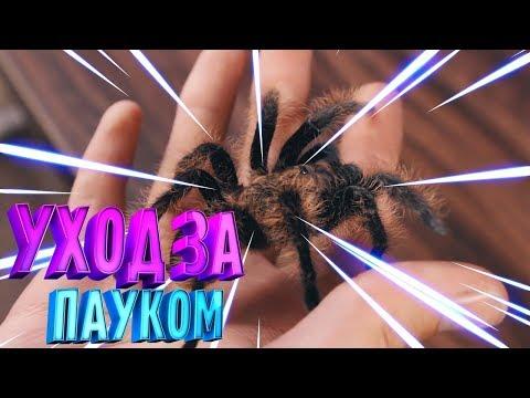 Содержание паука птицееда в домашних условиях