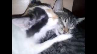 Как кошки любят друг друга.