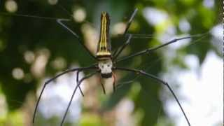 Nephila Spider Weaving Web