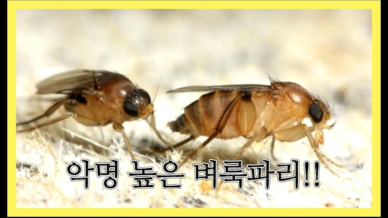 [해충정보] 집안 날파리 벼룩파리 퇴치법과 예방법을 알려드립니다
