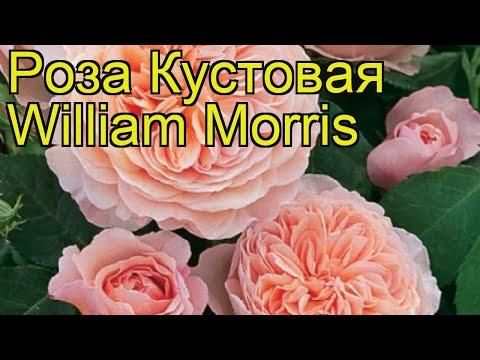 Роза кустовая Вильям Морис. Краткий обзор, описание характеристик, где купить саженцы William Morris