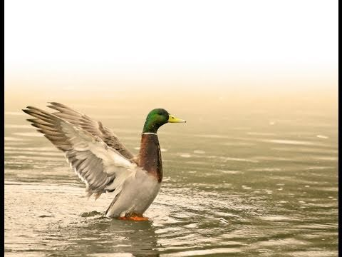 Ducks Unlimited Waterfowl Migration Habitat