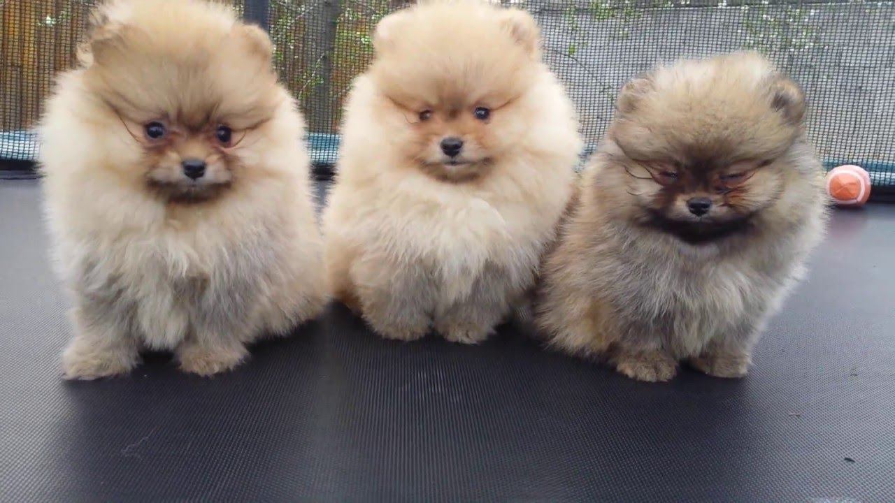 Pomeranian Boo puppies -Stefijano Kennel - YouTube