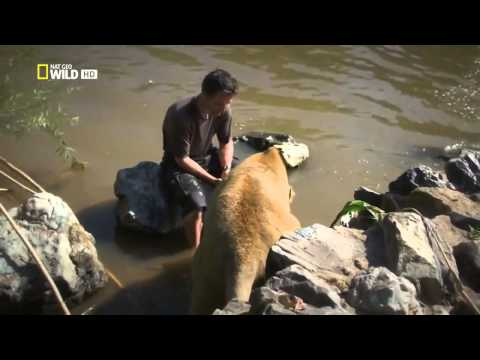 Man And Lions Kevin Richardson Documentary Hd 2014